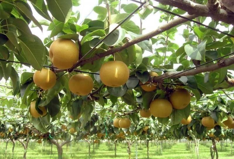 秋月梨苗,秋月梨,全红梨,M9T337矮化自根砧,M9T337矮化自根砧苗,梨苗批发