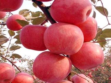 名优苹果树苗
