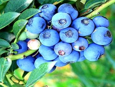 名优蓝莓树苗