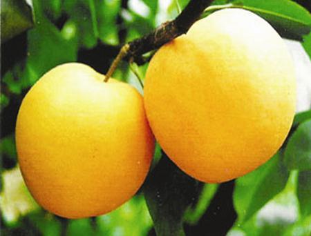秋月梨苗,苹果树苗